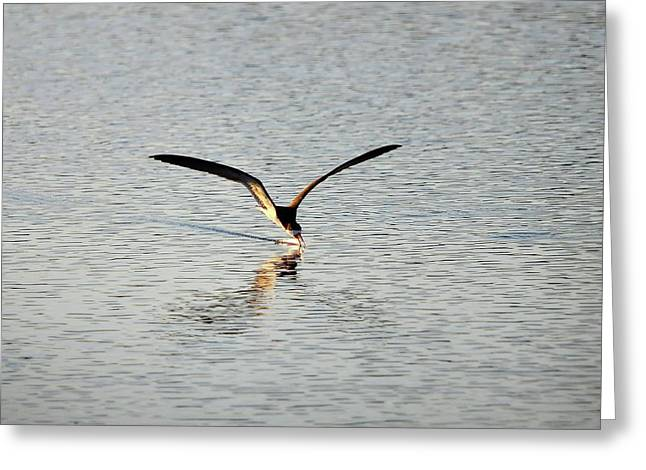 Skimmer Skimming Greeting Card by Al Powell Photography USA