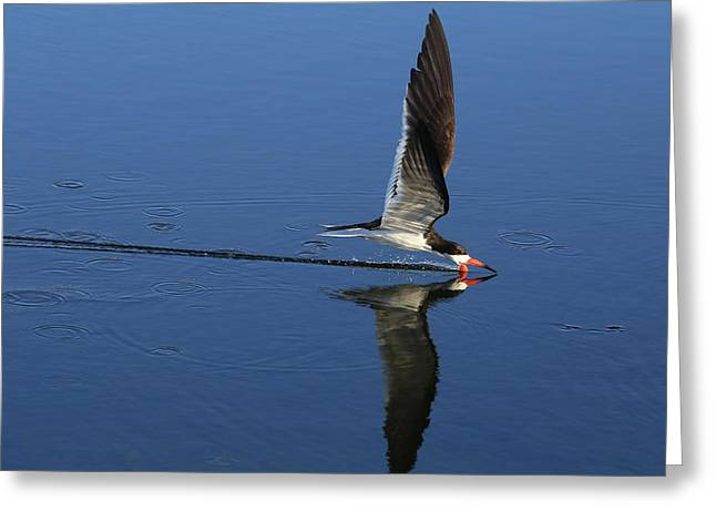 Skimming Off The Top Greeting Card by Donna Kennedy