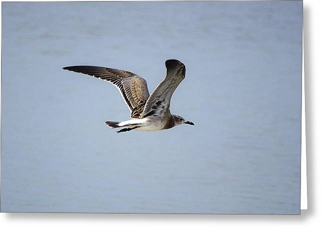 Skimming Seagull Greeting Card