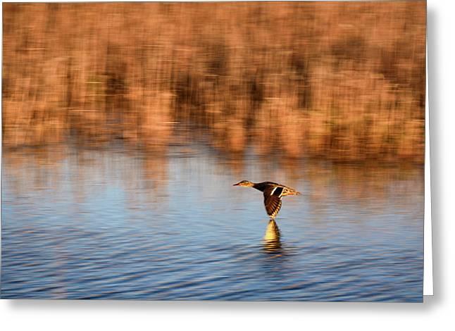 Skimming The Water Greeting Card