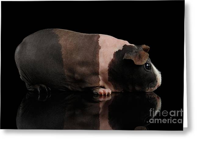 Skinny Guinea Pig On Isolated Black Background Greeting Card