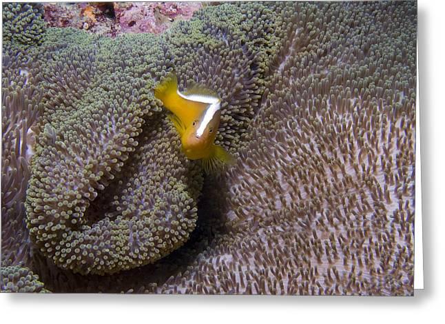Skunk Clownfish Greeting Card by Gary Hughes