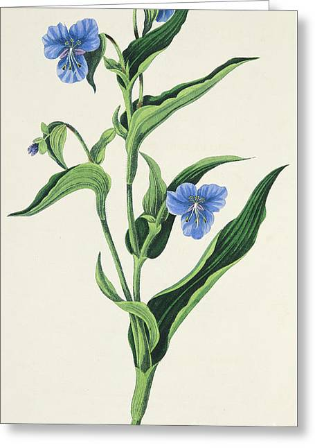 Sky Blue Commelina Greeting Card