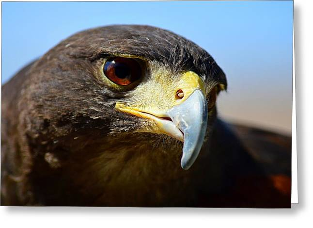 Sky Dancer - Harris Hawk Greeting Card