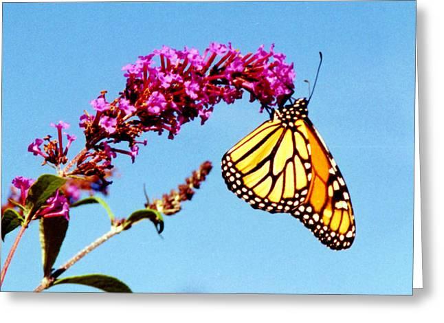 Skylands Monarch Greeting Card by Tom LoPresti
