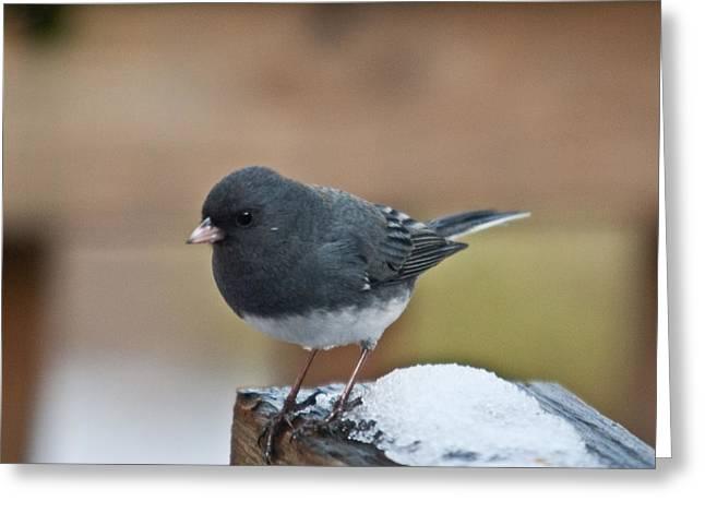 Slate Junco Feeding In Snow Greeting Card