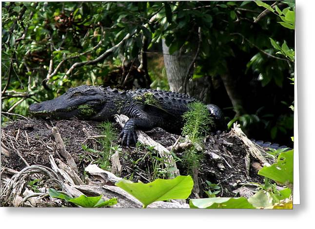 Greeting Card featuring the photograph Sleeping Alligator by Barbara Bowen