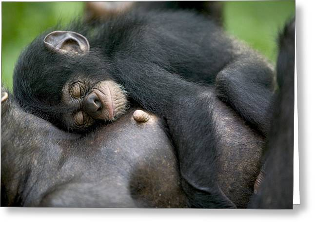 West Africa Greeting Cards - Sleeping Baby Chimpanzee Greeting Card by Cyril Ruoso