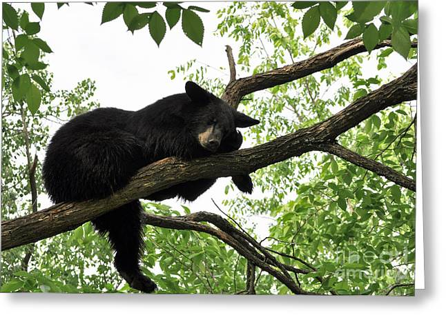 Sleeping Bear Greeting Card by Whispering Feather Gallery