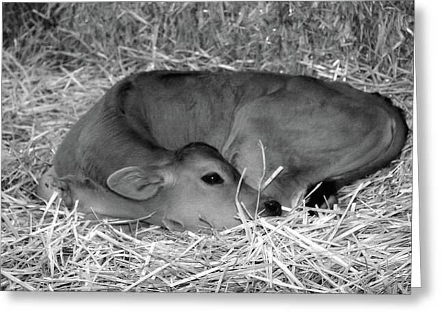 Sleeping Calf Greeting Card