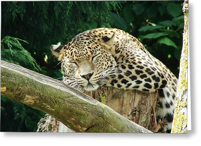 Sleeping Leopard Greeting Card by Nicola Butt