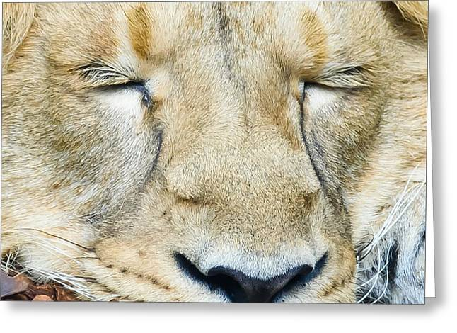 Sleeping Lion Greeting Card by Colin Rayner