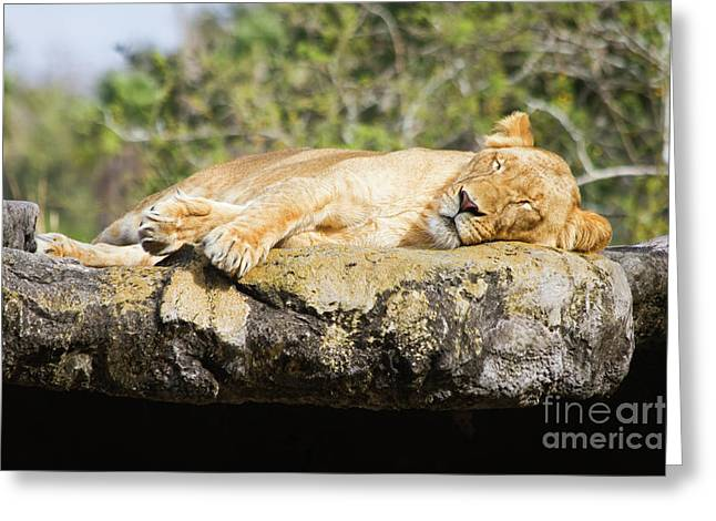 Sleeping Lion Greeting Card by Stephanie Hayes