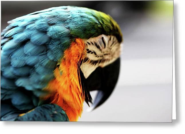 Sleeping Macaw Greeting Card by Dan Pearce