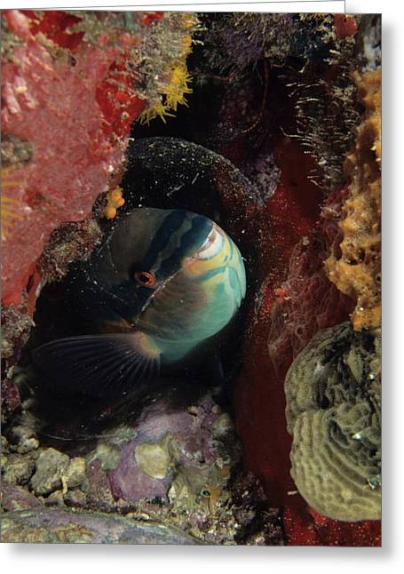 Sleeping Princess Parrotfish In Cocoon Greeting Card by Don Kreuter
