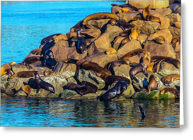 Sleeping Sea Lions Greeting Card by Garry Gay
