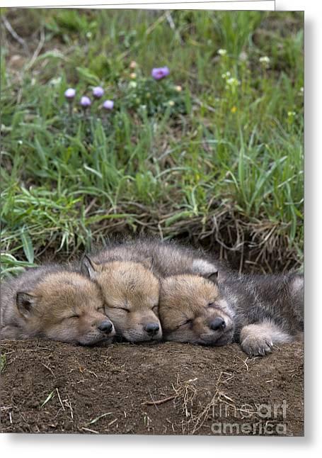 Sleeping Wolf Cubs Greeting Card by Jean-Louis Klein & Marie-Luce Hubert