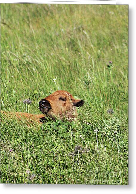 Greeting Card featuring the photograph Sleepy Calf by Alyce Taylor