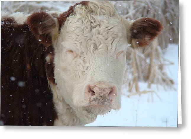 Sleepy Winter Cow Greeting Card by Gothicrow Images