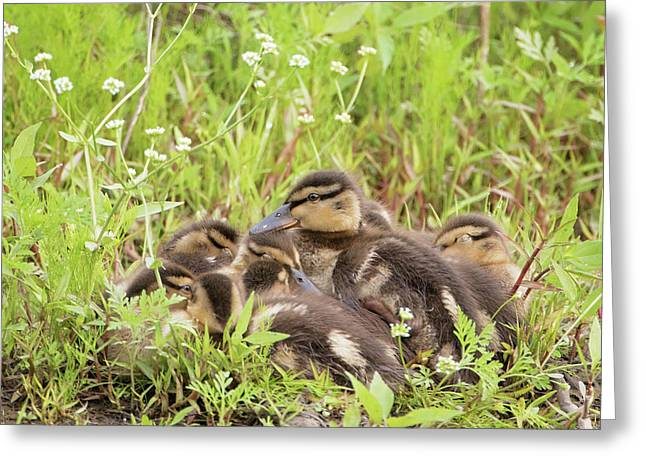 Sleepy Ducklings Greeting Card