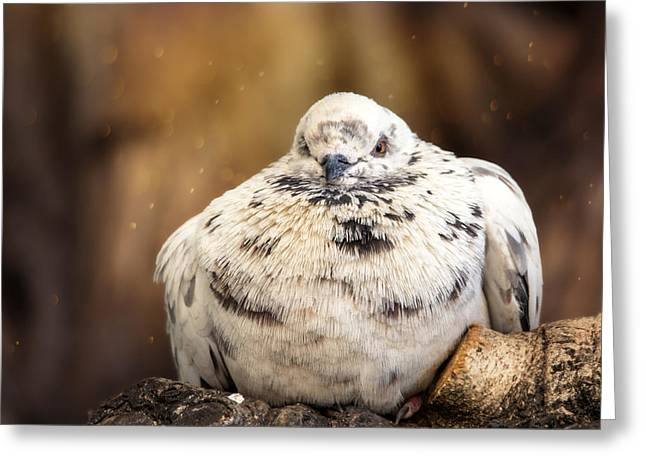 Sleepy Pigeon Greeting Card by Bill Tiepelman
