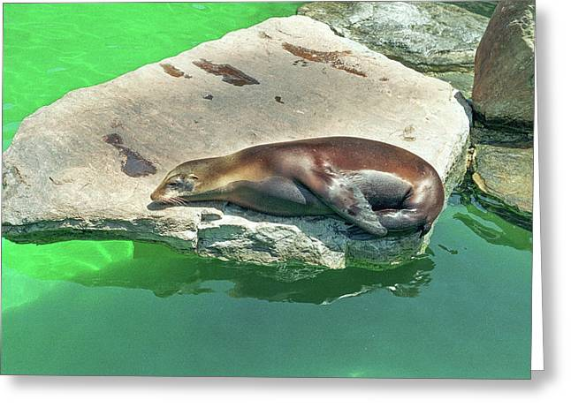 Greeting Card featuring the photograph Sleepy Sea Lion by Tom Potter