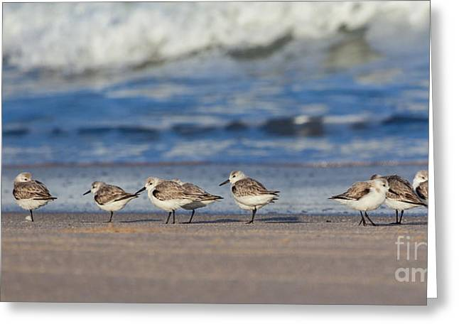 Greeting Card featuring the photograph Sleepy Shorebirds by Michelle Wiarda