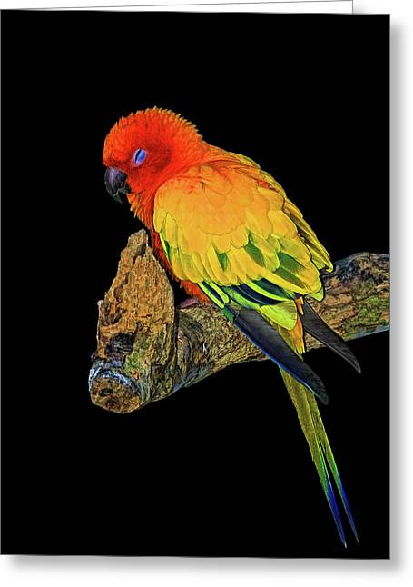 Sleepy Sun Conure Greeting Card