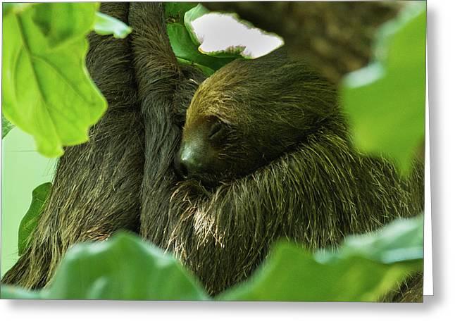 Sloth Sleeping Greeting Card