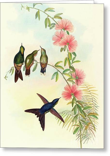 Small Billed Thornbill Greeting Card by David Gould