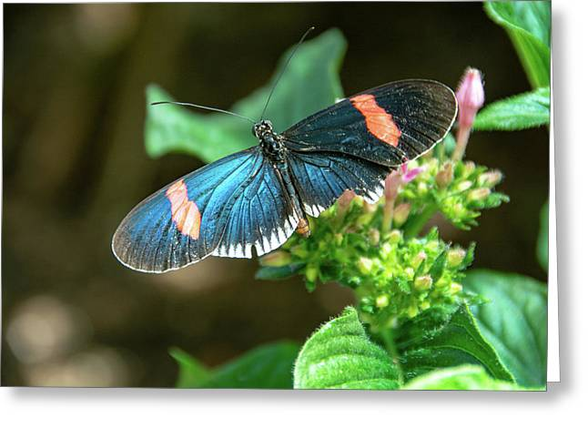 Small Black Postman Butterfly Greeting Card