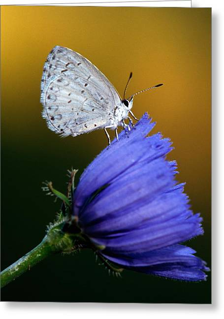 Small Blue Butterfly On Flower Blossom Greeting Card