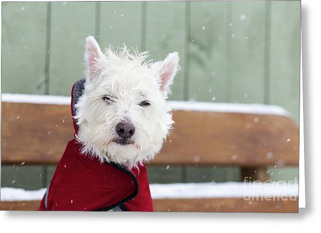 Small Dog In A Coat During A Snow Storm Greeting Card