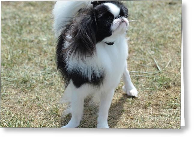 Small Japanese Chin Dog Looking Up  Greeting Card