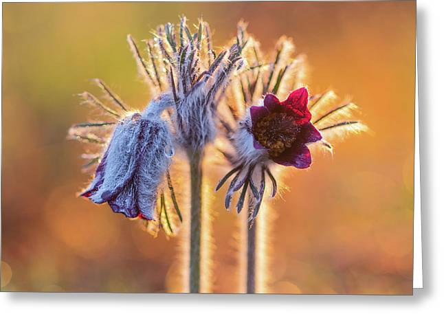 Small Pasque Flower, Pulsatilla Pratensis Nigricans Greeting Card