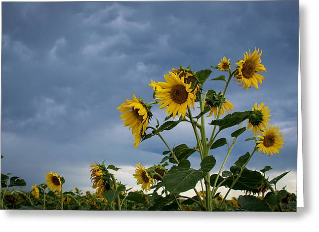 Small Sunflowers Greeting Card