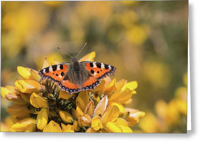 Small Tortoiseshell On Gorse Greeting Card
