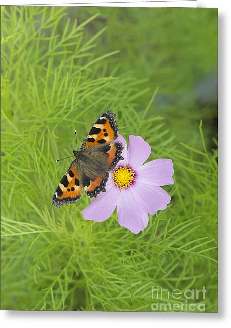 Small Tortoiseshell  Greeting Card by Tim Gainey