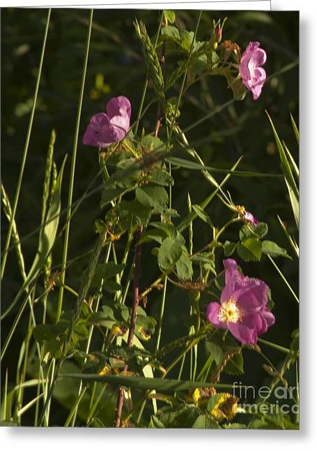 Greeting Card featuring the photograph Smelling The Wild Royal Roses by Daniel Hebard