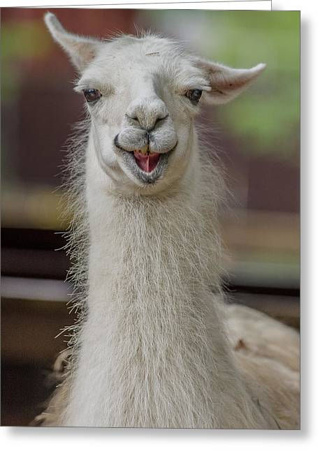 Smiling Alpaca Greeting Card by Greg Nyquist