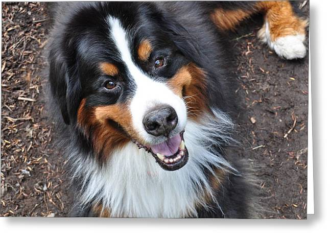 Smiling Bernese Mountain Dog Greeting Card by Pelo Blanco Photo