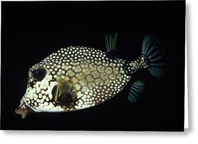 Smiling Smooth Trunkfish Greeting Card by Don Kreuter