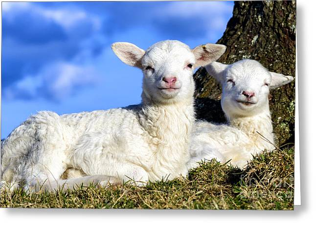 Smiling Spring Lambs  Greeting Card by Thomas R Fletcher