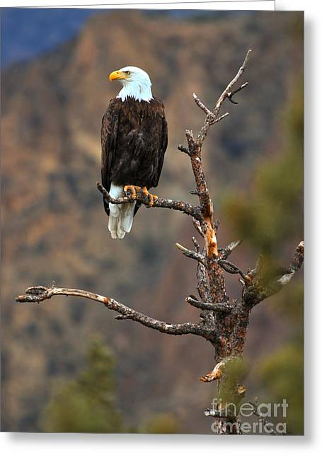 Smith Rock Bald Eagle Greeting Card by Adam Jewell
