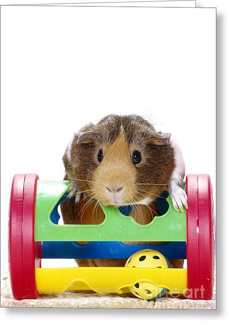 Smooth-coated Guinea Pig Greeting Card by Carolyn A McKeone