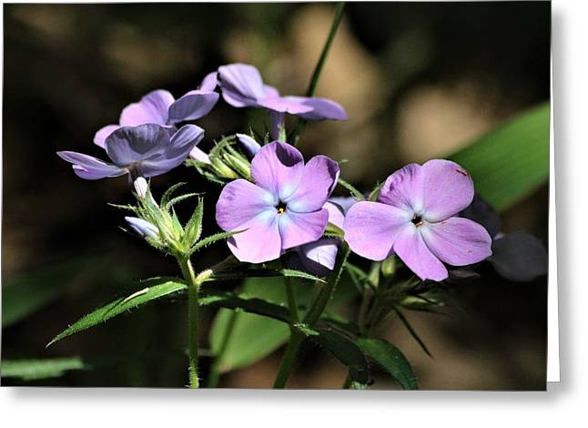 Greeting Card featuring the photograph Smooth Phlox Wildflowers by Sheila Brown
