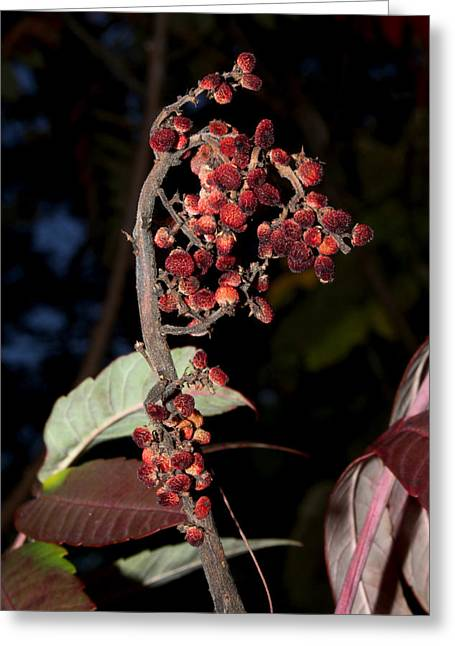 Smooth Sumac Flower Greeting Card by Robert Morin