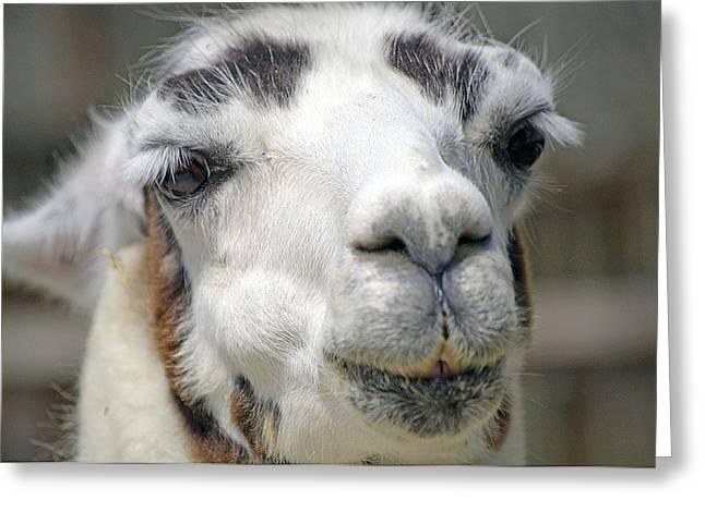 Smug Llama Greeting Card