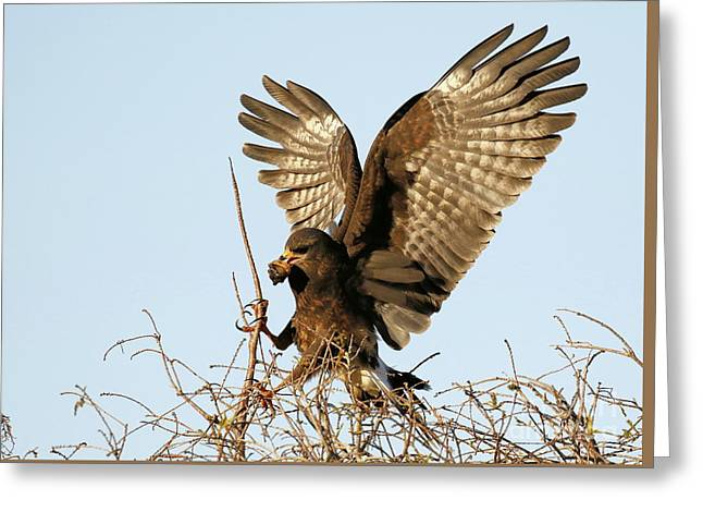 Snail Kite Coming In Greeting Card