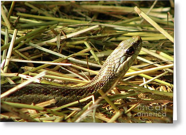Snake In The Grass Greeting Card by Deborah Johnson